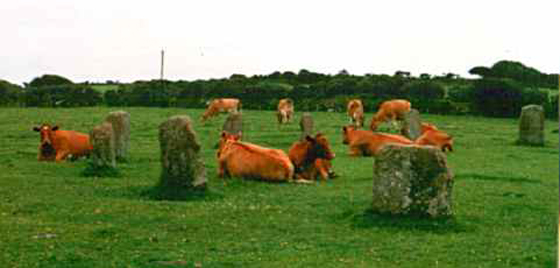 The Merry Maidens Stone Circle with Cows